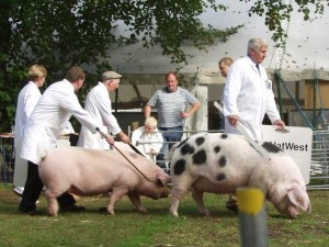 Showing GOS pigs is a great advertisement for the breed and your herd - shows are the shop window which help sell pigs.