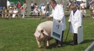 Showing Pigs